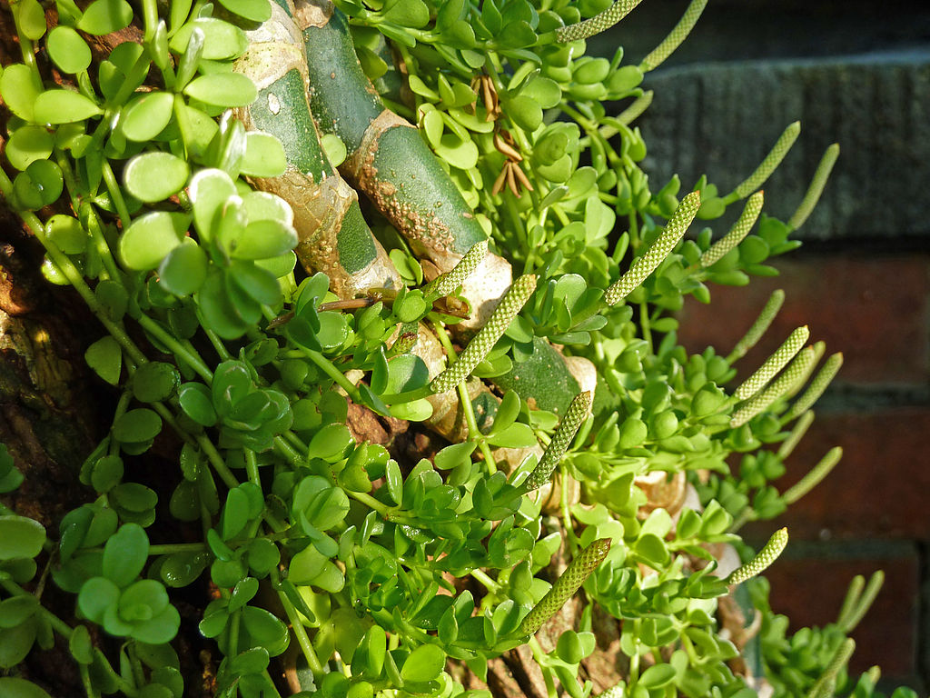 hanging peperomia